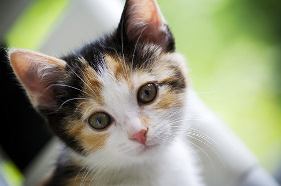 Kitten for sale in Onondaga County, New York