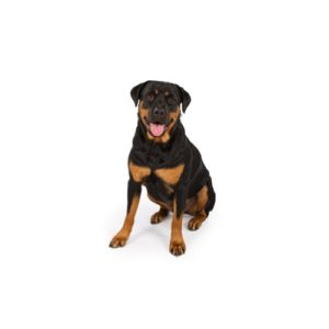 Rottweiler Puppies Breed Information Petland Cicero Newyork