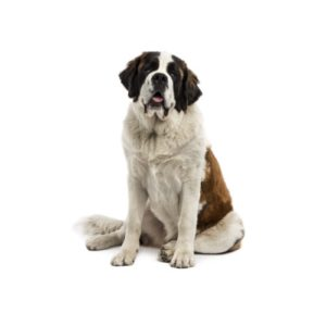 Saint Bernard Puppies - Breed Information - Petland Cicero
