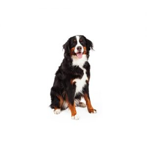 Bernese Mountain Dog Puppies Petland Cicero Ny